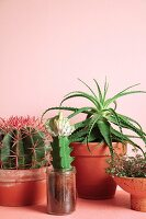 Various cacti in front of pink wall