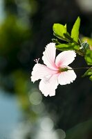 Pale pink hibiscus flower