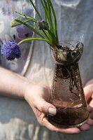 Grape hyacinths with bulb in glass bulb vase