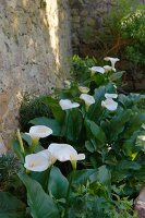 White calla lilies in flowerbed against historical sandstone wall (Chateau Maignaut)