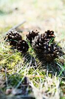Pine cones on mossy ground