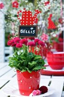 Bellis with name tag in polka dotted pot