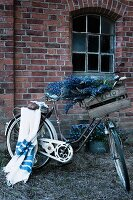 Vintage crate of blue lupins on handlebars and blue striped blanket on luggage rack of bicycle in front of brick facade