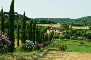 Avenue of cypresses and flowering oleander leading to country house in Tuscan landscape