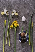 Various narcissus, bulb in dish and white egg on stone surface