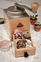 Coffee mill with cacti and succulents in open drawer