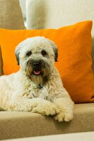 Dog on sofa in front of orange scatter cushion