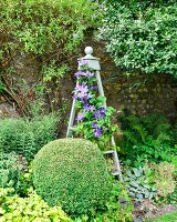 Box ball in front of purple-flowering clematis climbing over obelisk