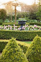 Tulips and box bushes in topiary garden