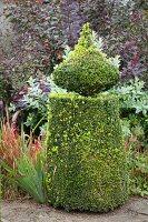 Topiary box bush in autumnal garden