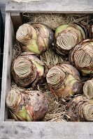 Amaryllis bulbs in wooden crate