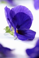 A blue pansy (close-up)