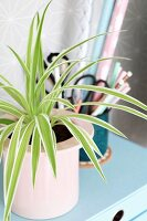 Spider plant in pink pot on small, pale blue chest of drawers