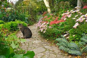 Cat sitting on garden path next to bed of ice plant, sedum and spurge