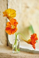 Nasturtium flowers in small glass bottle on windowsill