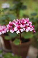 Striped pink pelargonium flower against blurred background