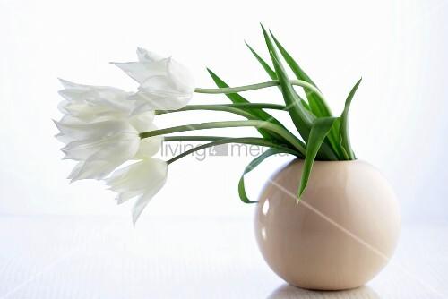 weisse tulpen in vase bild kaufen living4media. Black Bedroom Furniture Sets. Home Design Ideas