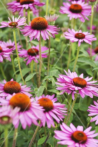 echinacea echinacea purpurea in a garden bild kaufen. Black Bedroom Furniture Sets. Home Design Ideas