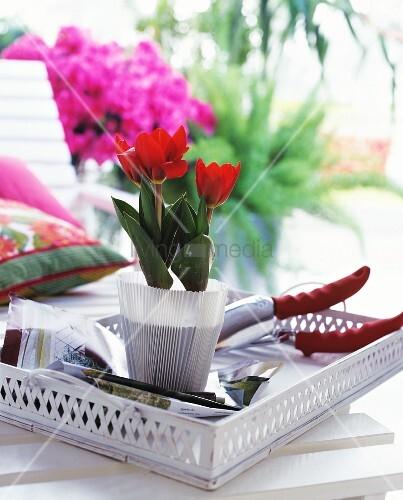 rote tulpen im topf und gartenschere auf weissem vintage. Black Bedroom Furniture Sets. Home Design Ideas