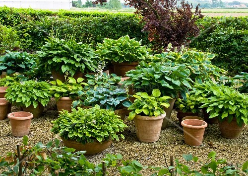 various hostas in pots planters bild kaufen living4media. Black Bedroom Furniture Sets. Home Design Ideas