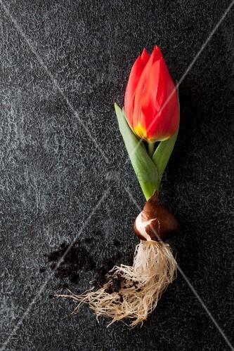 rote tulpe mit zwiebel red paradise und erde auf dunklem untergrund bild kaufen living4media. Black Bedroom Furniture Sets. Home Design Ideas