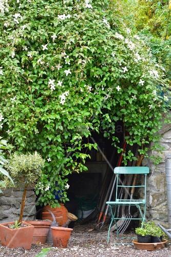 ppig rankende clematis clematis montana wilsonii ber. Black Bedroom Furniture Sets. Home Design Ideas