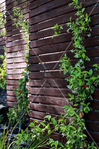 Dunkle holz sichtschutzwand teilweise mit kletterpflanzen for Dunkle steine garten