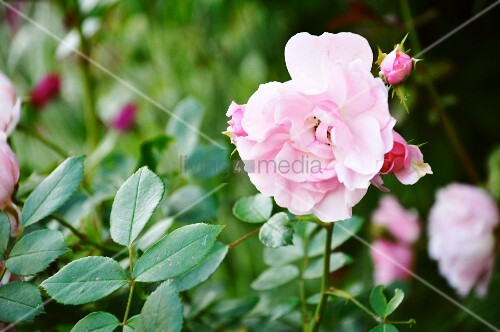 rosa rosen im garten bild kaufen living4media. Black Bedroom Furniture Sets. Home Design Ideas