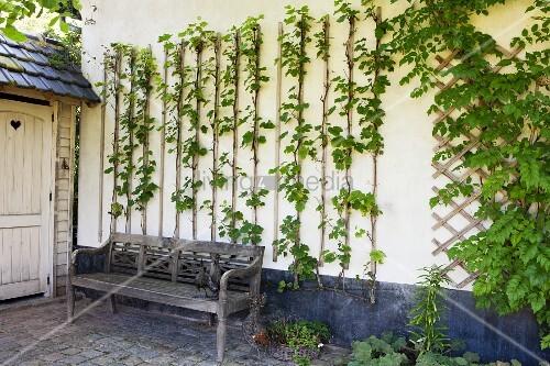 kletterpflanze mit rankhilfen auf weisser hauswand davor verwitterte holzbank bild kaufen. Black Bedroom Furniture Sets. Home Design Ideas