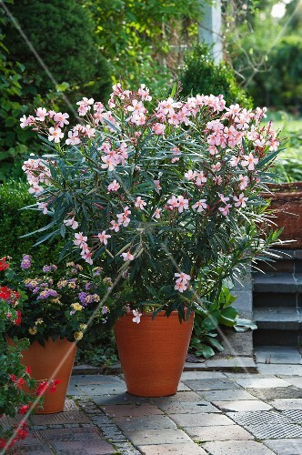 potted oleander nerium oleander madame leon blum on terrace bild kaufen living4media. Black Bedroom Furniture Sets. Home Design Ideas