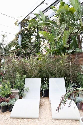 designer sonnenliegen vor palmen im gew chshaus bild. Black Bedroom Furniture Sets. Home Design Ideas