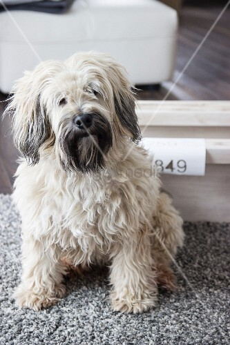 Kleiner, weisser Hund auf Teppich – Bild kaufen – living4media