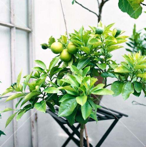 kleiner zitronenbaum auf dem balkon bild kaufen. Black Bedroom Furniture Sets. Home Design Ideas