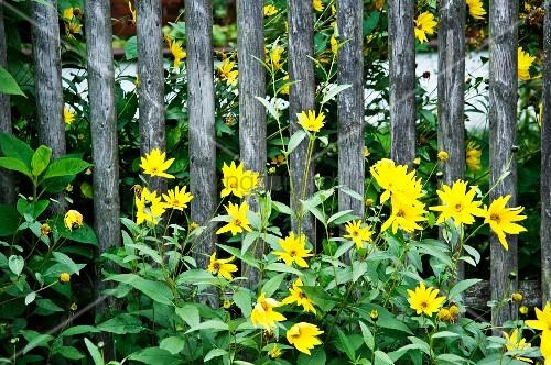 gelbe herbstblumen am gartenzaun bild kaufen living4media. Black Bedroom Furniture Sets. Home Design Ideas