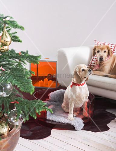 Weihnachtsbaum Neben Hunden Im Hundekorb Und Auf Sofa Bild Kaufen Living4media