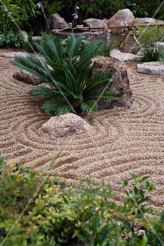 kleine palmenpflanze und findlinge in japanisch gestaltetem kiesgarten bild kaufen living4media. Black Bedroom Furniture Sets. Home Design Ideas