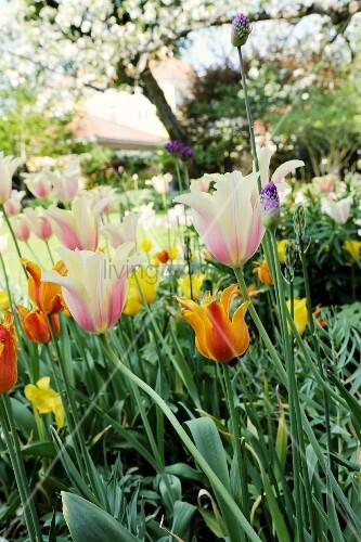 ein buntes blumenbeet mit tulpen im garten bild kaufen living4media. Black Bedroom Furniture Sets. Home Design Ideas