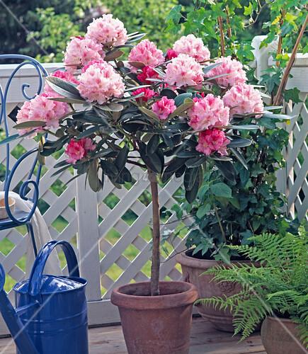 rhododendron als st mmchen bild kaufen living4media. Black Bedroom Furniture Sets. Home Design Ideas