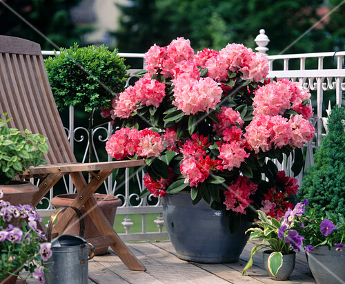 rhododendron yakushimanum heinje s select bild kaufen. Black Bedroom Furniture Sets. Home Design Ideas
