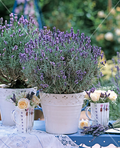 lavandula angustifolia dwarf blue bild kaufen living4media. Black Bedroom Furniture Sets. Home Design Ideas