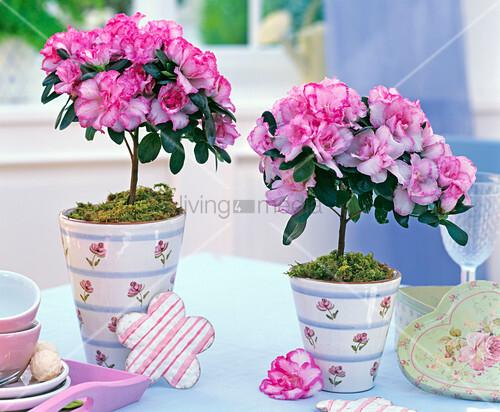 rhododendron simsii zimmerazalee minist mmchen bild. Black Bedroom Furniture Sets. Home Design Ideas