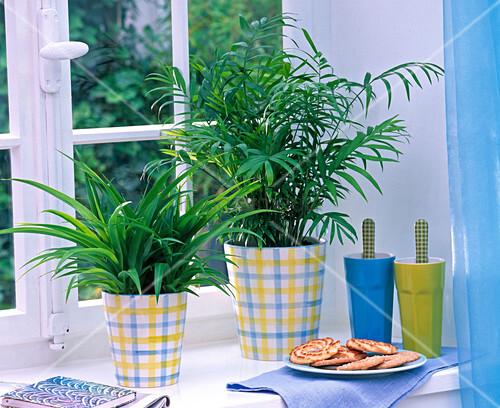 chlorophytum laxum gr nlilie chamaedorea bergpalme. Black Bedroom Furniture Sets. Home Design Ideas
