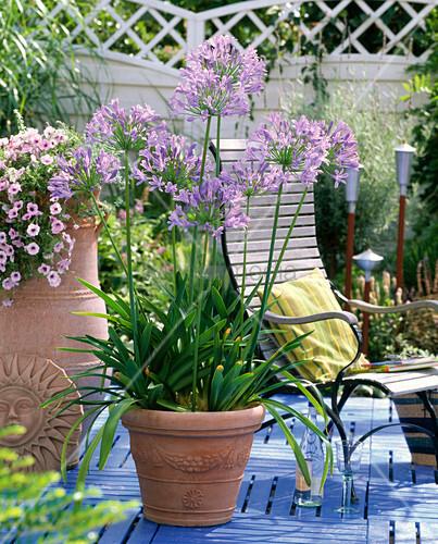 agapanthus africanus afrikanische schmucklilie bild kaufen living4media. Black Bedroom Furniture Sets. Home Design Ideas