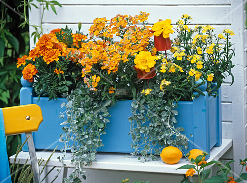 nemesia nemesis golden sun orange elfenspiegel. Black Bedroom Furniture Sets. Home Design Ideas