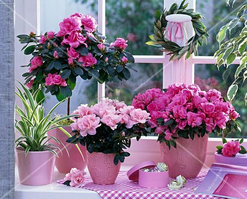 rhododendron simsii zimmerazaleen chlorophytum. Black Bedroom Furniture Sets. Home Design Ideas