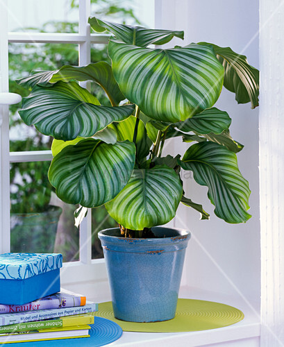 calathea orbifolia korbmarante im blauen bertopf am fenster bild kaufen living4media. Black Bedroom Furniture Sets. Home Design Ideas