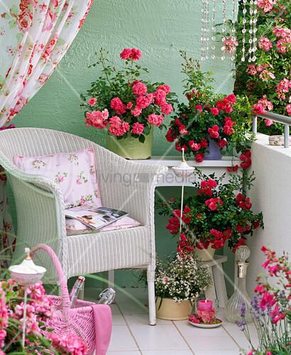 rosa bad birnbach knirps groundcover rose often. Black Bedroom Furniture Sets. Home Design Ideas