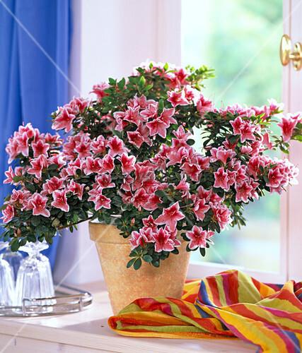 rhododendron simsii zimmerazalee mit buntem tuch bild. Black Bedroom Furniture Sets. Home Design Ideas