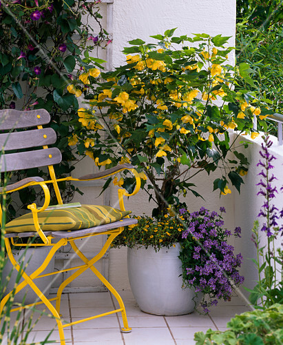 abutilon sch nmalve unterpflanzt mit nemesia. Black Bedroom Furniture Sets. Home Design Ideas