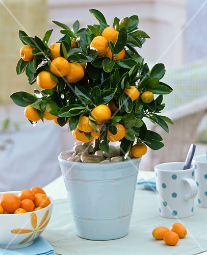 citrofortunella microcarpa calamondinorange mit kieselsteinen als mulch bild kaufen. Black Bedroom Furniture Sets. Home Design Ideas